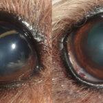 Vermi nell'occhio: una comune parassitosi del cane